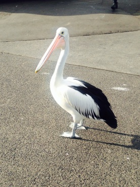Mr Pelican waits for his partner at Sydney Fish Markets